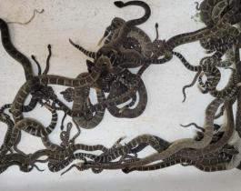 Hallaron más de 90 serpientes cascabel bajo la casa de una mujer