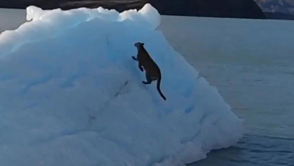 Puma en el glaciar
