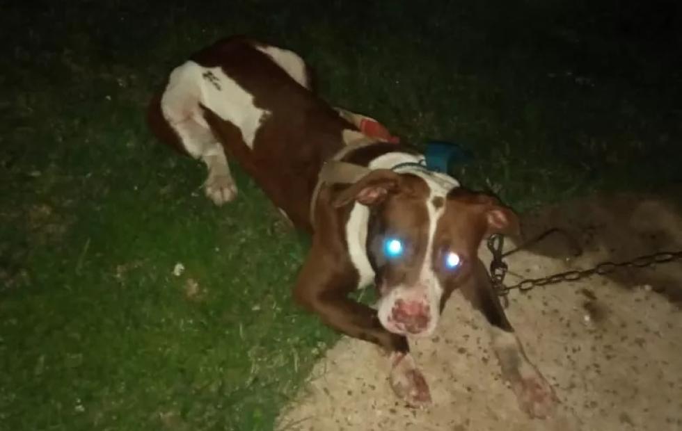 Corrientes: un pitbull atacó a una mujer y al hijo, tienen graves heridas