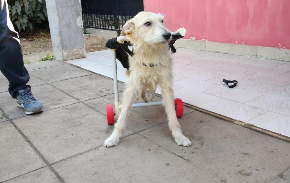 Con una impresora 3D realiza y dona prótesis y carros para perritos en Corrientes