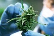 Nación aprobó el proyecto de investigación en cannabis medicinal de una empresa correntina