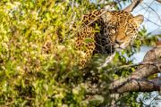 Reintroducción de especies: la yaguareté Aramí ya se abre camino a la libertad