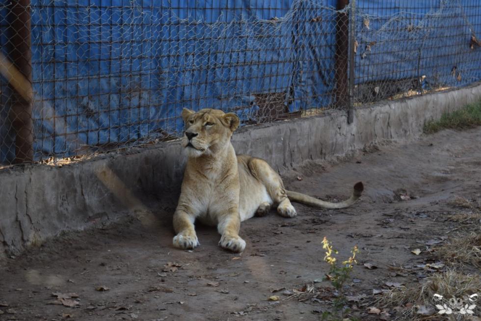 leona en cautiverio