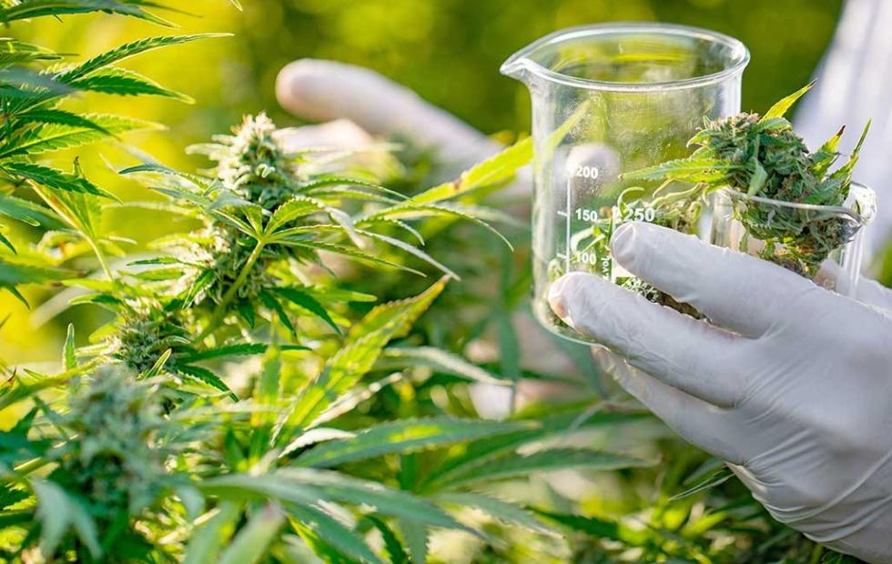 Impulsan una diplomatura en cannabis y sus usos medicinales